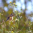 Dandelion Treats! - Goldfinch - Dunedin NZ by AndreaEL
