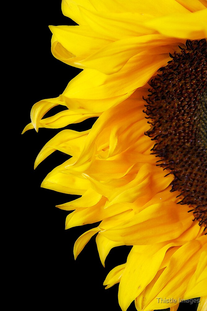 Sunflower by Thistle Images