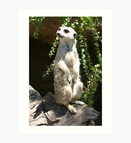 Meerkat on the lookout Art Print