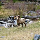 Rocky Mountain Bighorn Sheep by Barrie Daniels