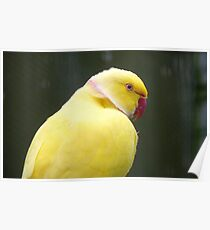 I'm A Perky Fellow! - Ringneck Parrot - Gore NZ Poster