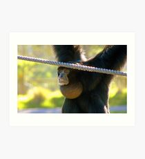 Hey I'm The Pro at Brachiating! - Siamang - Orana Wildlife Park CHC NZ Art Print