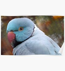 What You Looking At! - Blue Ringneck Parrot -  Poster