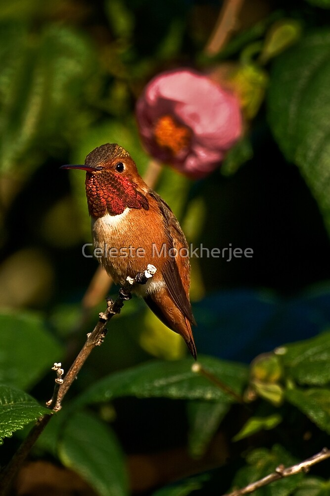 Kolibri in blühendem Ahornbaum von Celeste Mookherjee