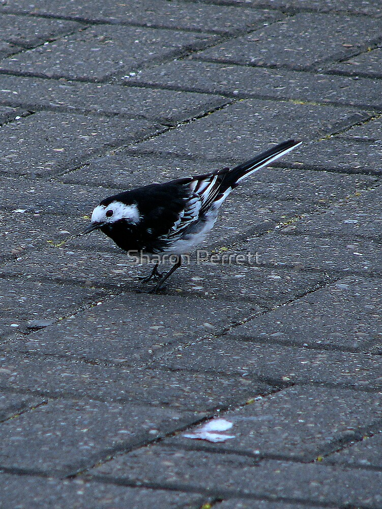 A Pied Wagtail by Sharon Perrett