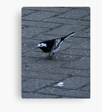 A Pied Wagtail Canvas Print