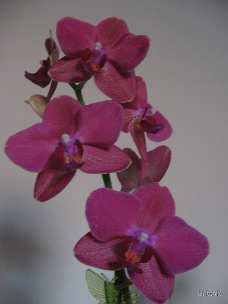 Orchids in bloom by Britchix