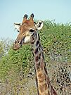 Giraffe Watching by Graeme  Hyde