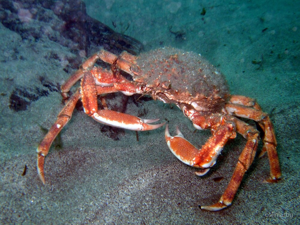 crab by colinlarby