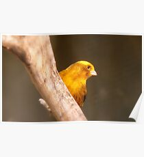 Tweety Bird! - Canary - Southland NZ Poster