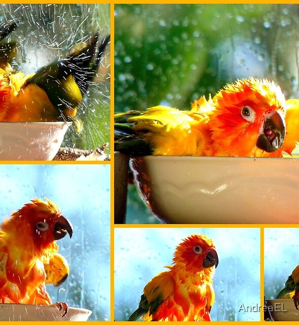 The Joy of Bathing!! - Sunshine - Sun Conure - NZ by AndreaEL