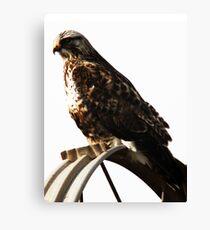 Roughlegged Hawk - Sprinkler Perch Canvas Print