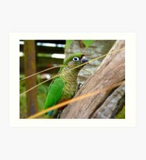 Wild Thing, You Make My Heart Sing! Maroon-Bellied Conure - NZ Art Print