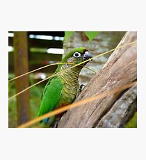 Wild Thing, You Make My Heart Sing! Maroon-Bellied Conure - NZ Photographic Print