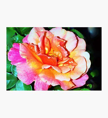 Rain splattered rose Photographic Print