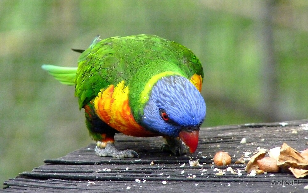 The Nutty Professor! - Rainbow Lorikeet - NZ Southland by AndreaEL