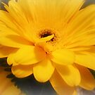 Golden Yellow Gerbera from a Bouquet by EdsMum
