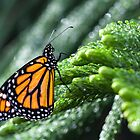 Monarch on green by Manon Boily
