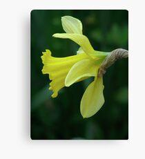 Daffodil 02 Canvas Print