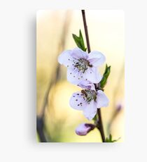 Obstbaum Blüten im Frühling Canvas Print