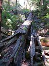 Fallen Tree by Cathy Jones
