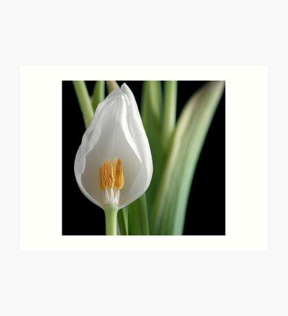 Tulip Exposed Art Print