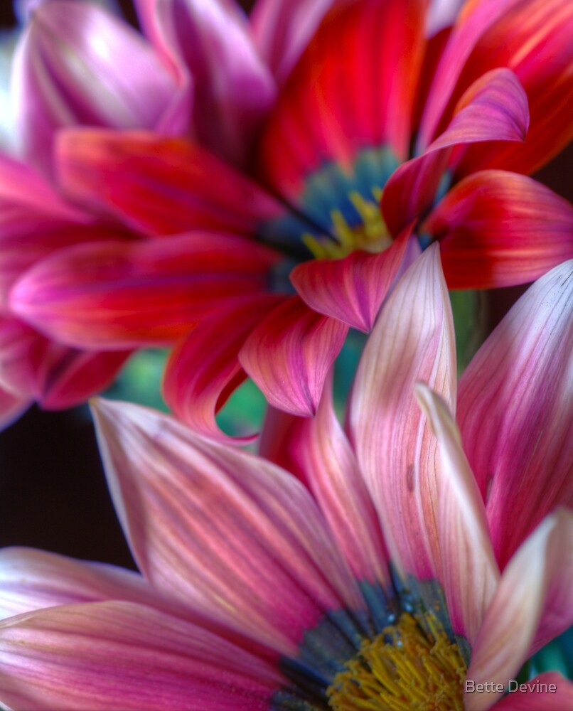 African Daisies 3 by Bette Devine