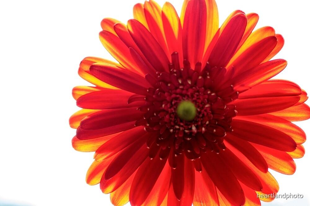 Red and Yellow Macro Daisy by heartlandphoto
