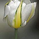 Tulip by John Thurgood