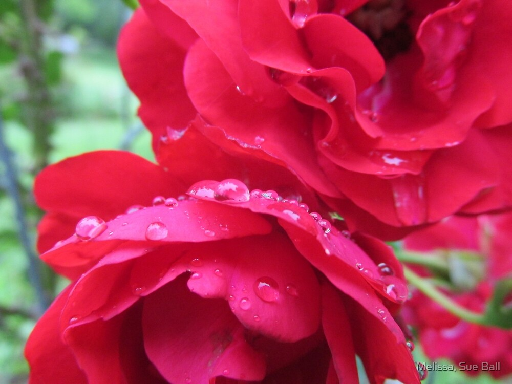 Water Drops On Red Rose by Melissa, Sue Ball
