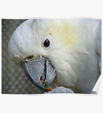 I Have Something Divine!!! - White Cockatoo - NZ Poster