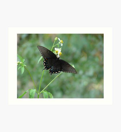Tiger Swallowtail in Bidens alba Art Print