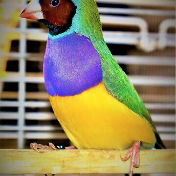 Cock Gouldian finch bird by angela-mcintyre