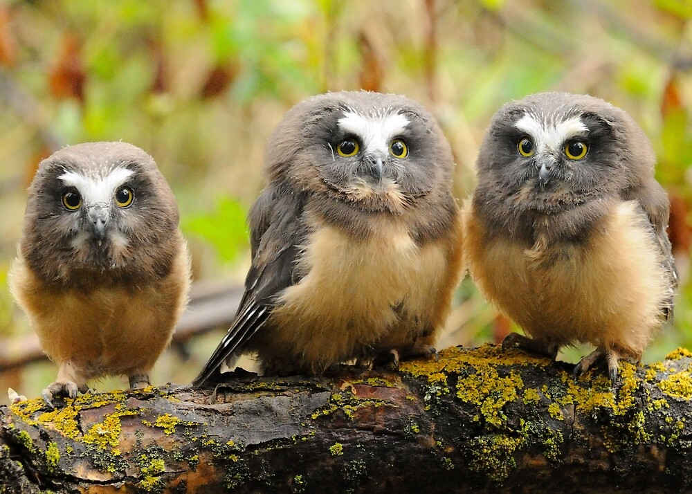 Three on a branch by Sylvia Labelle