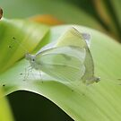 Cabbage butterflies mating by Alice Kahn