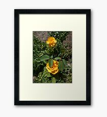 two yellow roses, natural 05/22/17 Framed Print