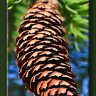 Pine Cone by Sheryl Gerhard