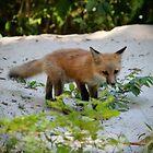 Adorable Fox Cub by Cynthia48