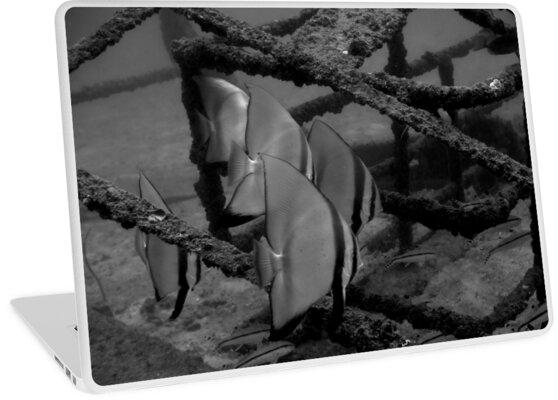 Batfish in black and white by Richard Wonka
