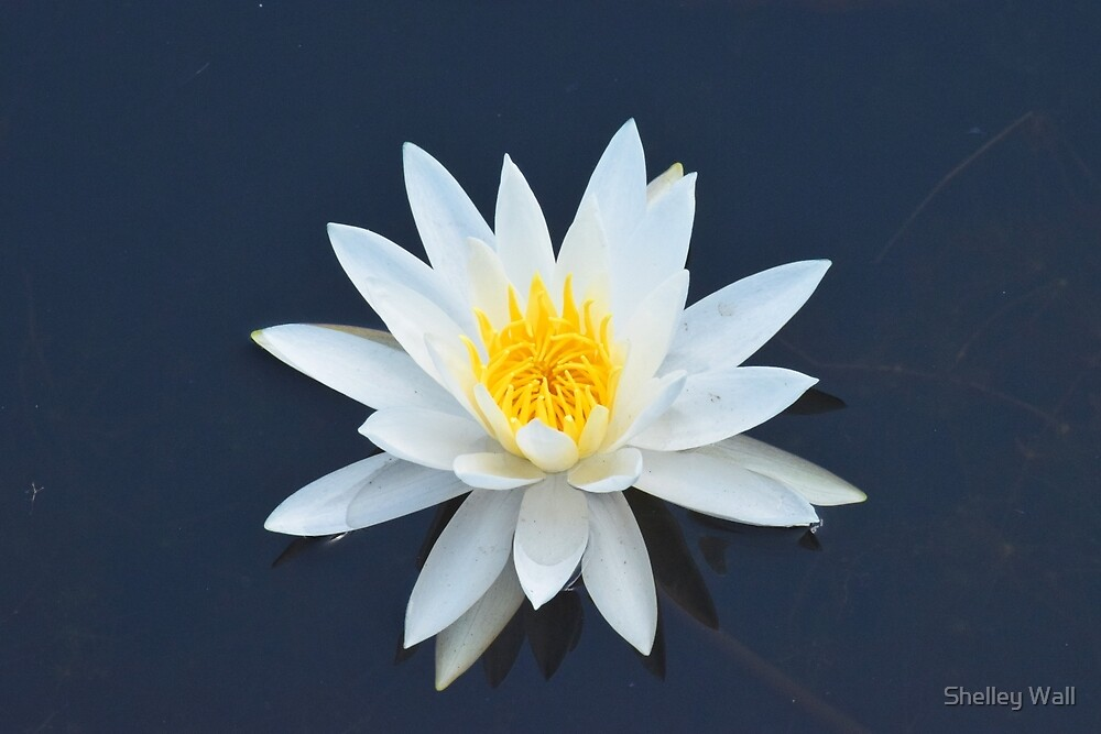 Water Lily by Shelley Wall