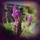 French Lavender. by Livvy Young