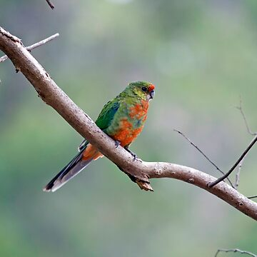 female western rosella by shirleyscott