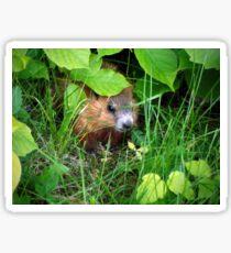 Cute Shy Peek a Boo Baby Groundhog  Sticker