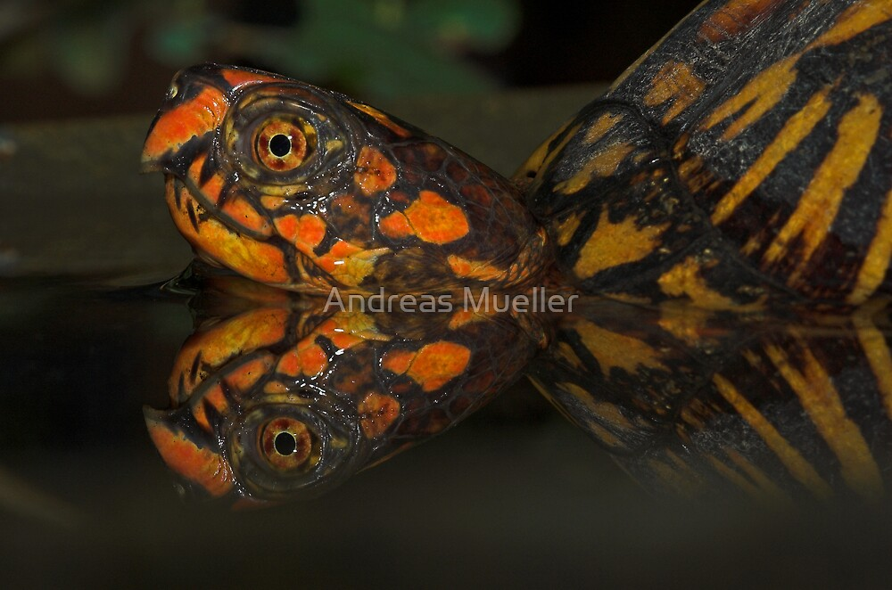 Eastern Box Turtle by Andreas Mueller