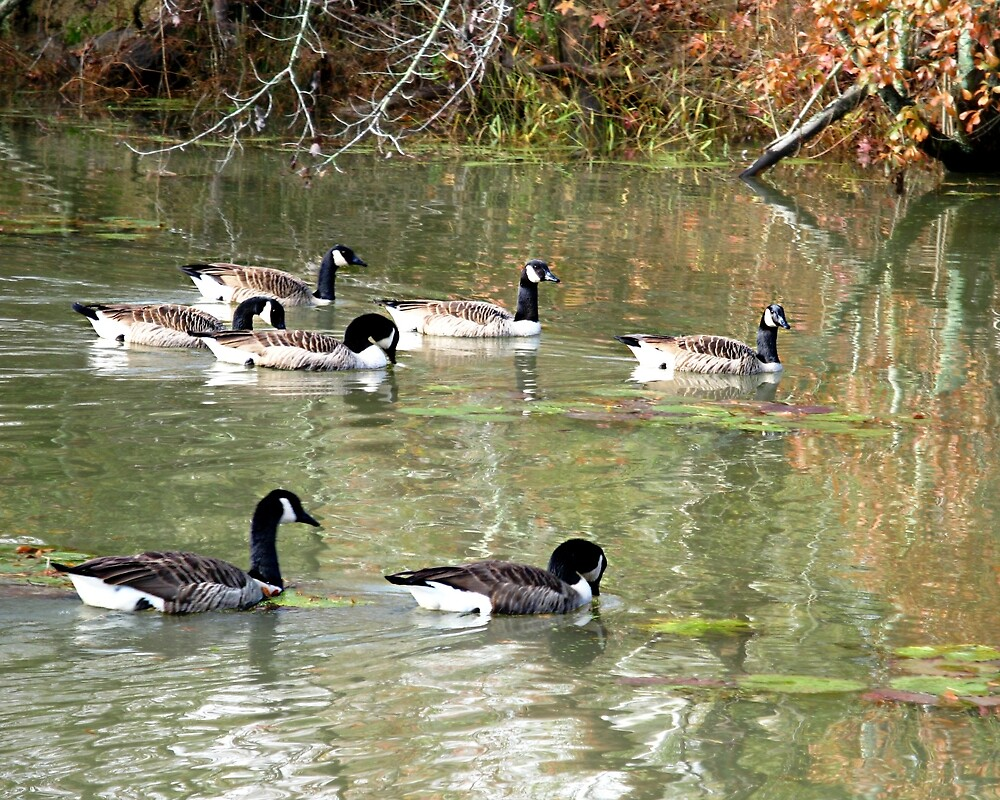 Canadian Geese (Branta canadensis) by William Tanneberger