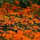 Sea of Marigolds by autumnwind