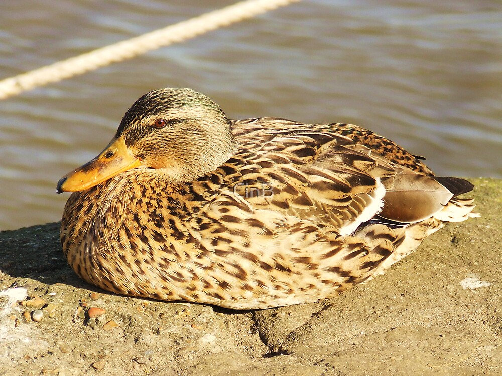 ....And Mrs Duck by CinB