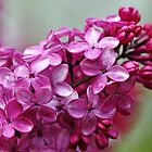 Heavenly Lilacs by Debbie Oppermann