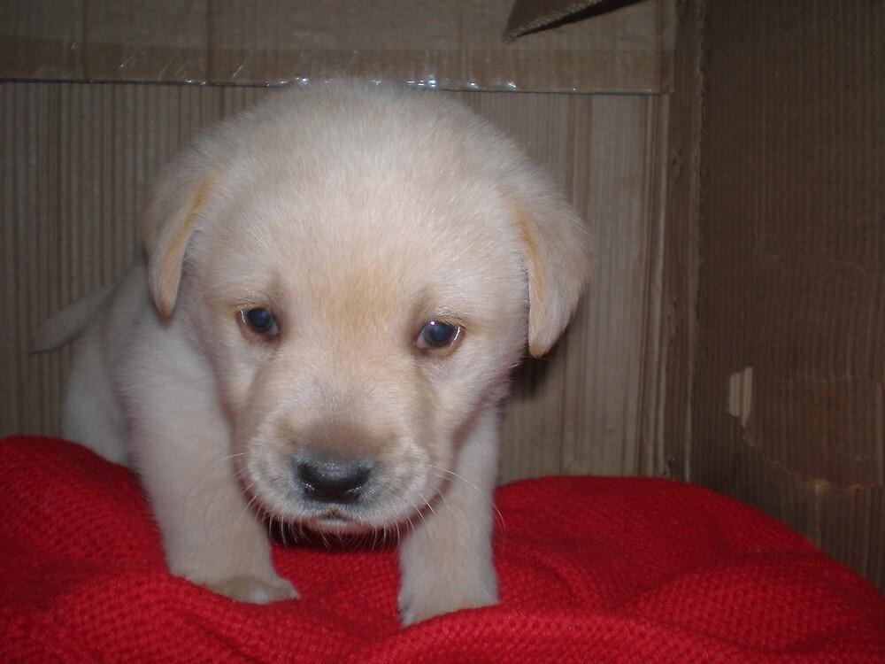 Stanley the super puppy of grishiv arora by Grishiv