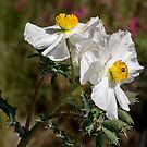 Ein Paar stachelige Mohnblumen von Celeste Mookherjee